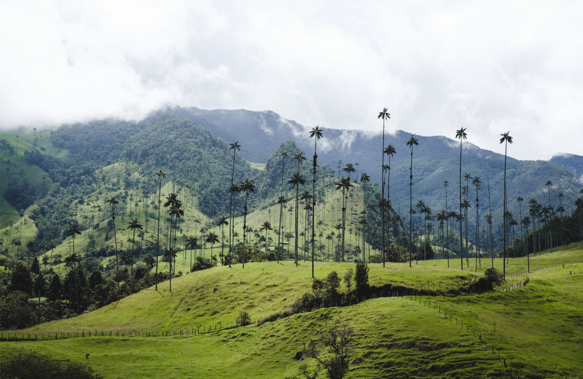 Cocora valley green palm tree