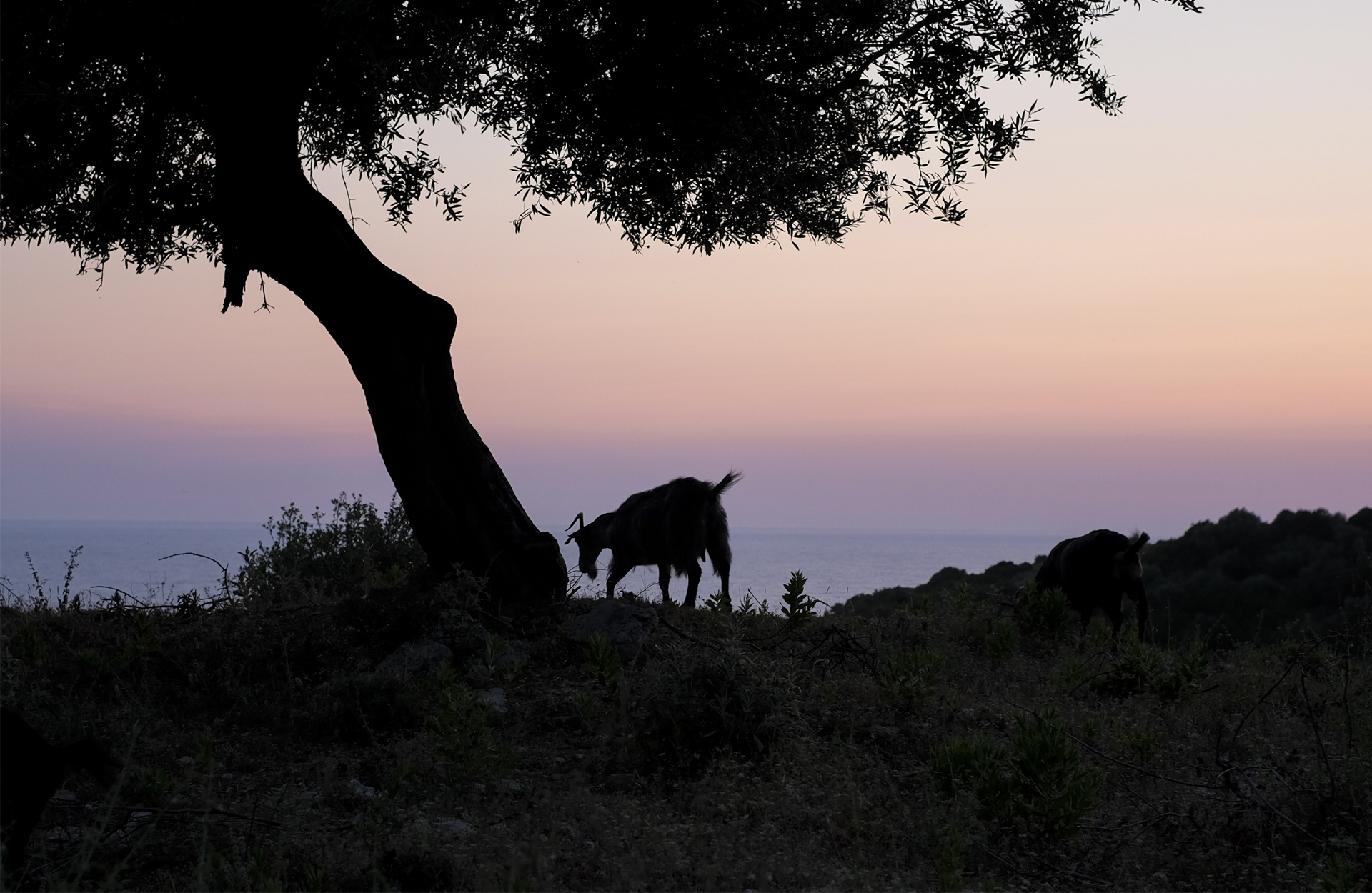 Goat, tree and pink sunset during a road trip in Albania
