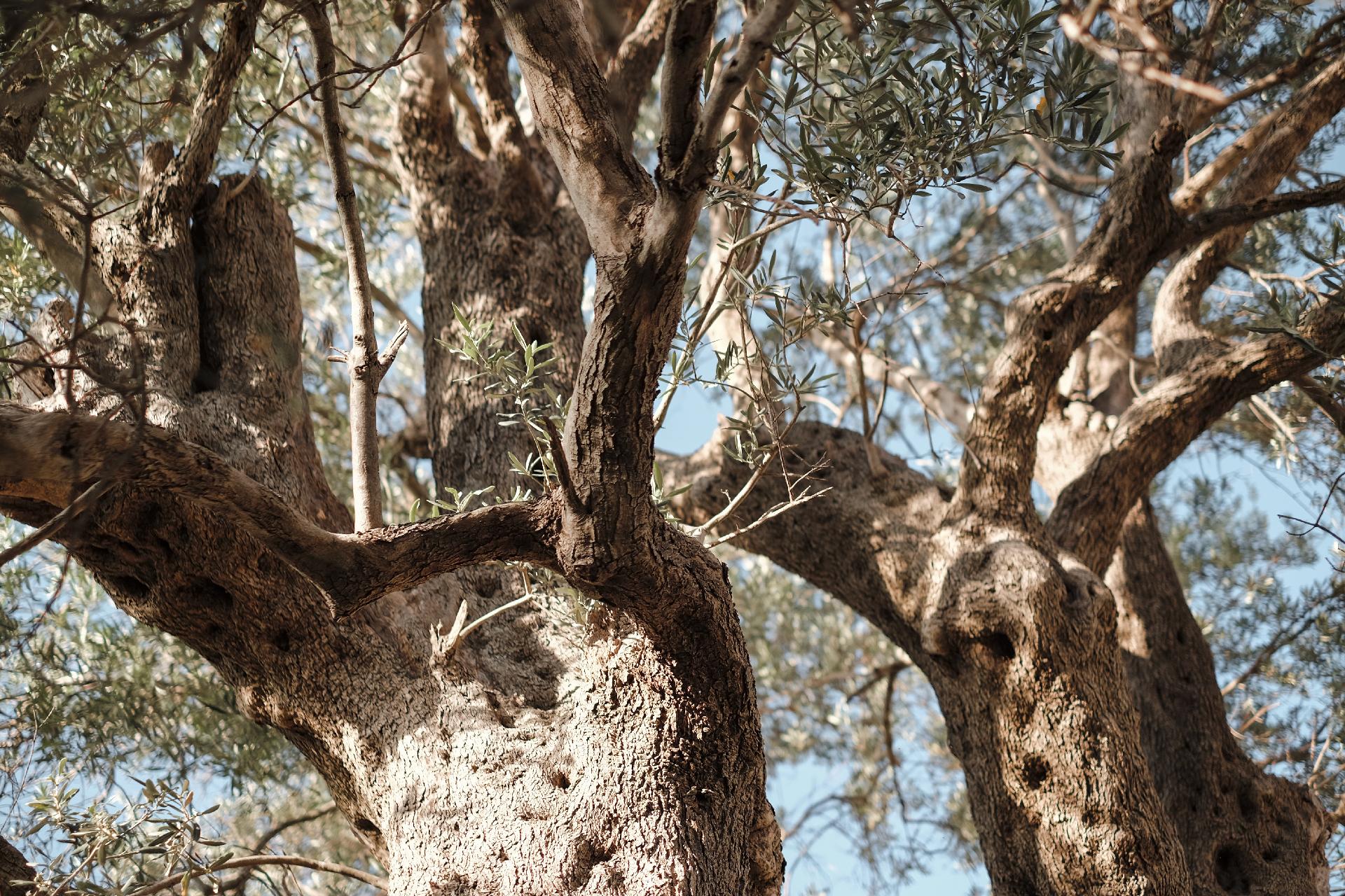 Famous old Olive tree in Krujë