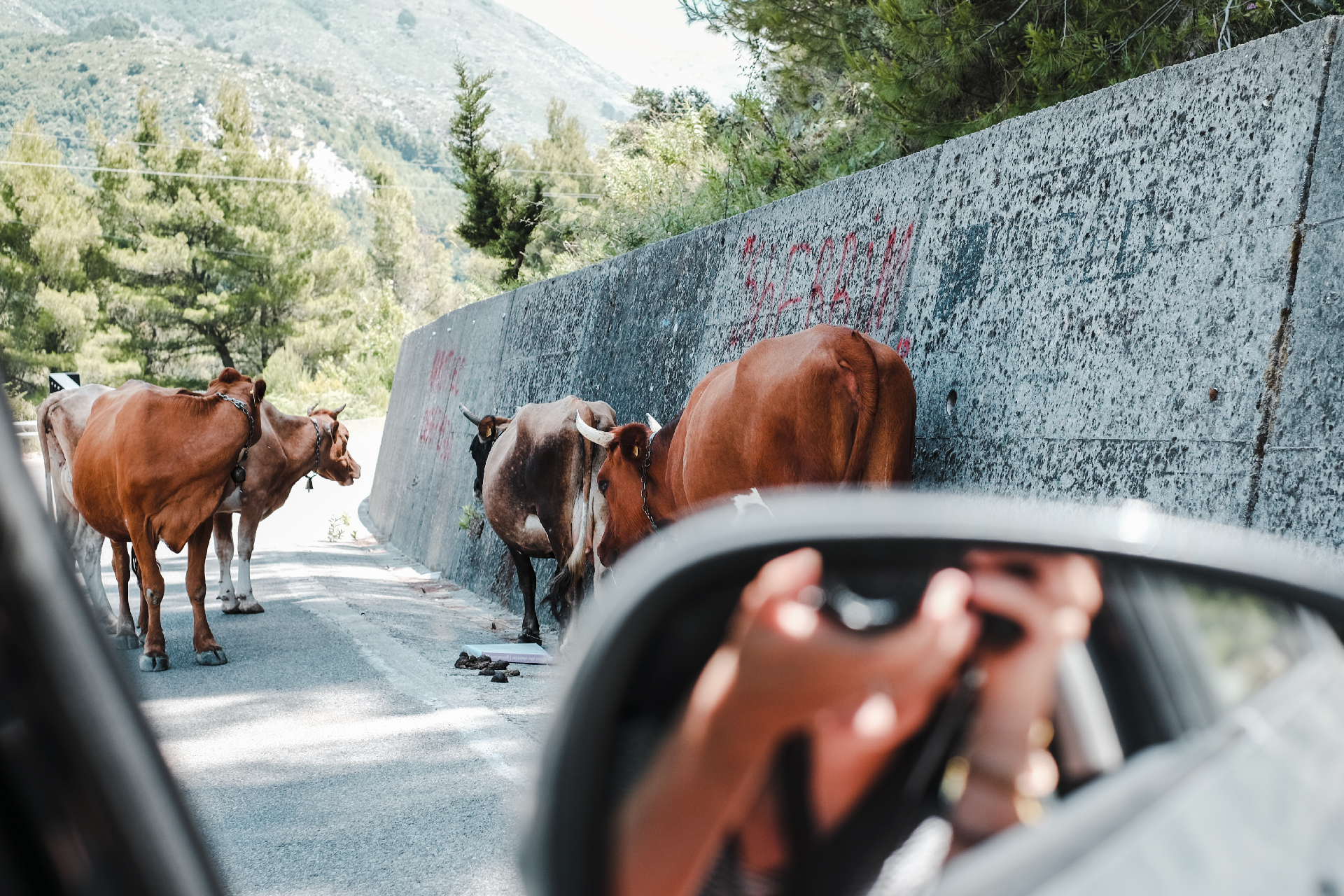 girl taking pictures of cows, Albania road trip