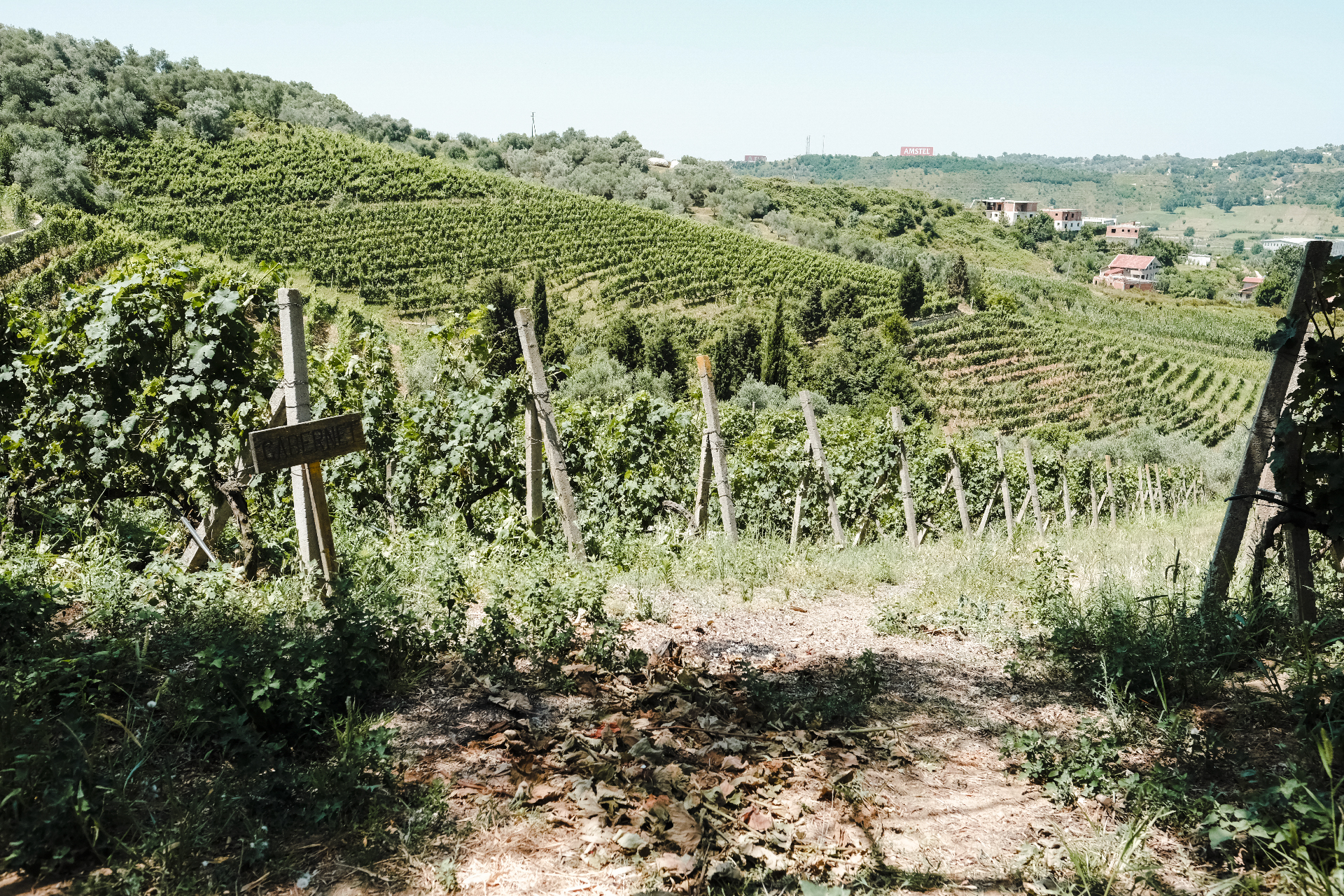 Vines planted in the hill, the center of Albania.